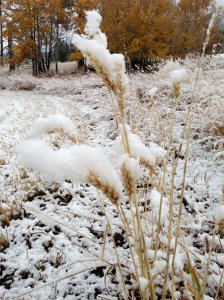 Snowy wheat